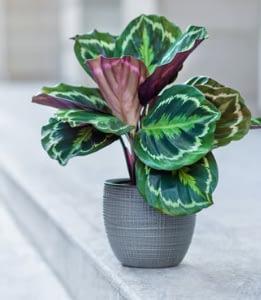 unique indoor plant calathea