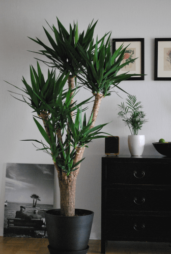 indoor low light plant yucca planted in a planter