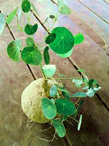 exotic indoor plant stephania erecta