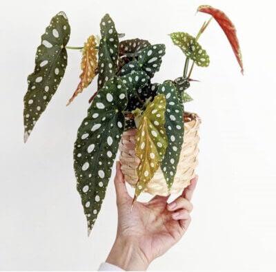 indoor low light plant polka dot begonia