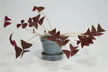 oxalis- rare low light indoor plants