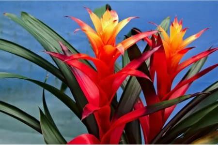 Flowering guzmania or bromeliad