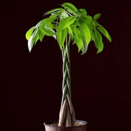 rare low light indoor plant malabar chestnut