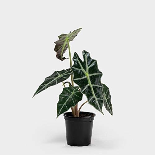 exotic plant-alocasia